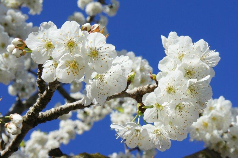 Аромат моей весны