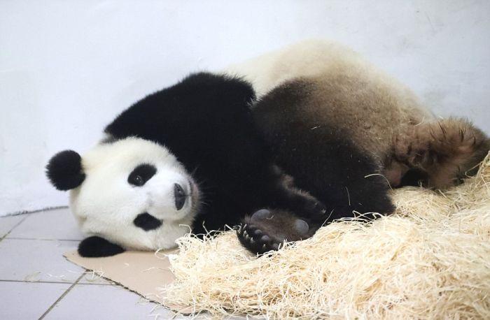 В бельгийском зоопарке у панды родился медвежонок
