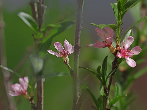 Синоним: Миндаль карликовый (Prunus tenella) Автор фото: Юрий Семенов