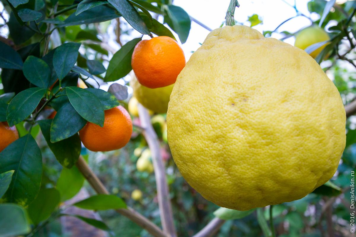 Саратовский лимонарий 29