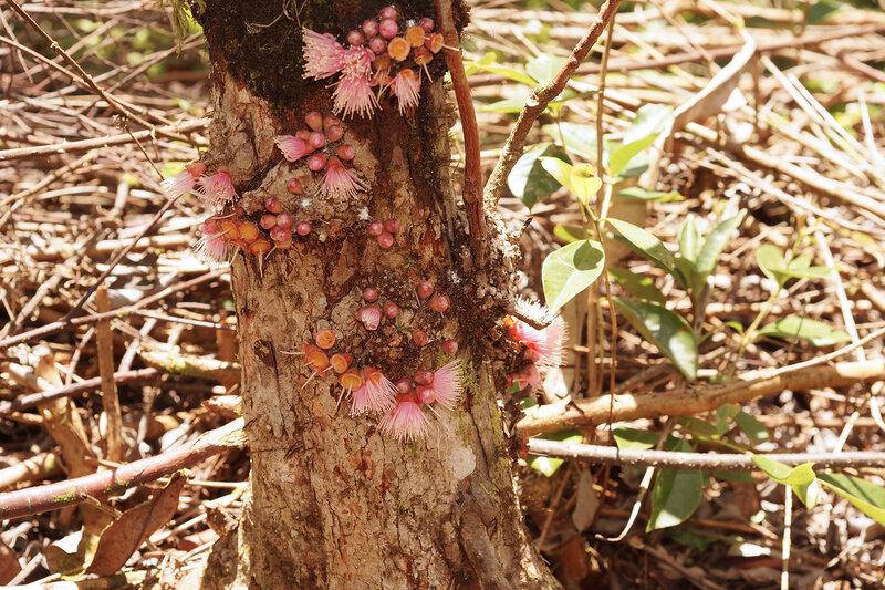 сизигиум Syzygium mauritianum.jpg