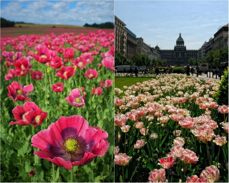Цветы Чехии — розовые маки и тюльпаны