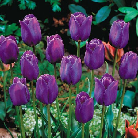 фіолетові тюльпани