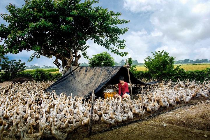 15. Поощрительная премия — «Сбор утиных яиц» (автор: Тран Ван Туй, Вьетнам). Разведение уток и сбор