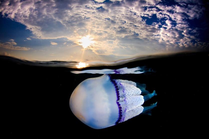 Медуза дышит всем телом, поскольку у нее нет легких и жабр, а также любого другого органа дыхания. С