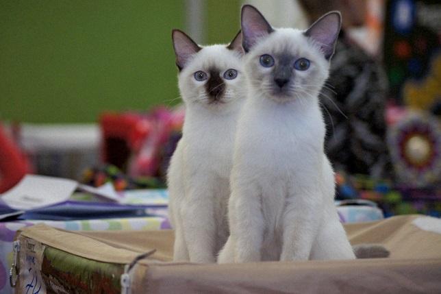 19_тайские котята.jpg