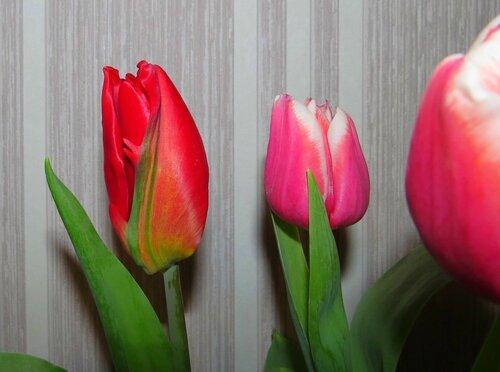 """Тюльпан с """"изюминкой"""""""