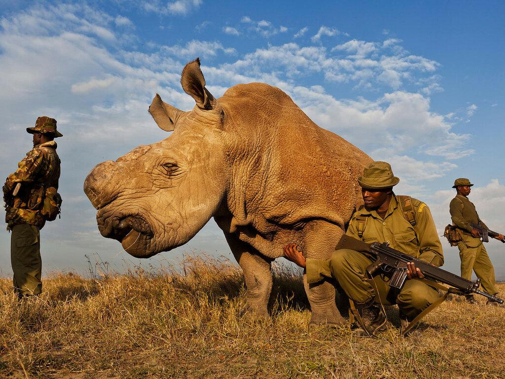 Anti-poaching team protecting a Northern White Rhino in Kenya.jpg