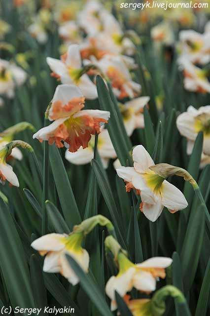 Narcissus Sunny Grilfriend (1).JPG