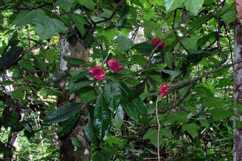 Цветы дерева «шлюхины губки». Фотографии