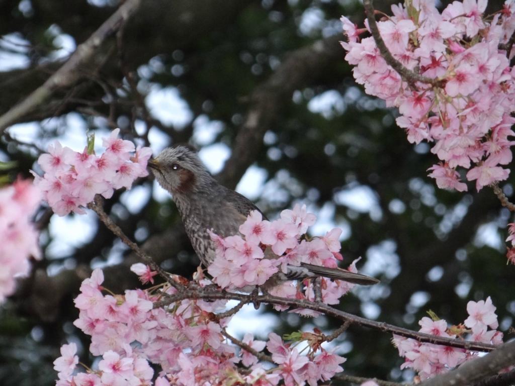 Умэ-мацури или фестиваль цветения слив на маленьком японском острове Эносима