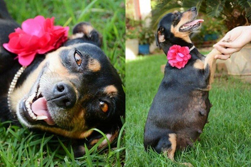 Лилика из Бразилии: фотографии беременной собачки покорили Facebook и другие соцсети