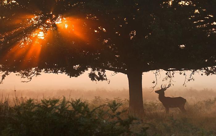 Олень остановился, глядя на солнце, прорывающееся сквозь густую крону дерева.