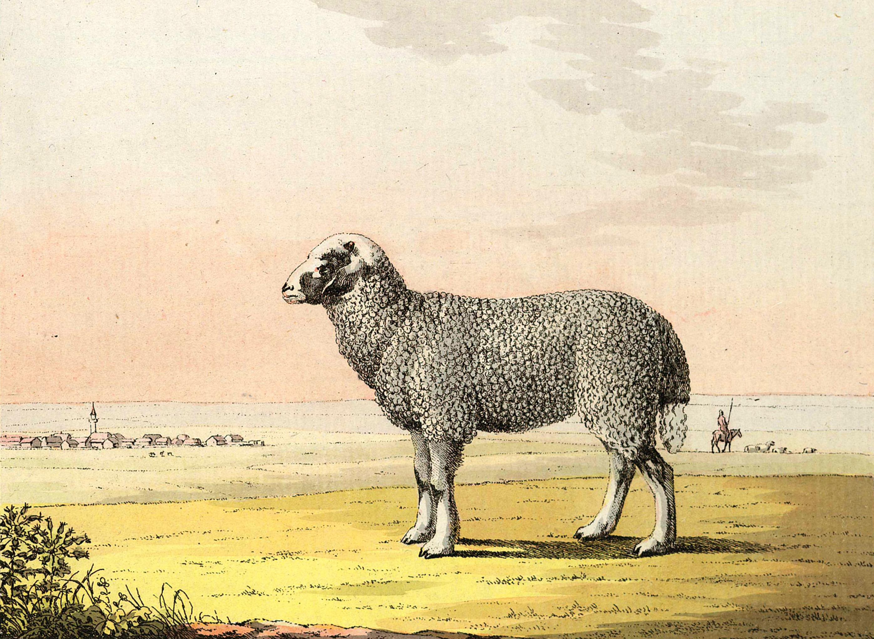 2-26. Овца — той же породы с серебристо-серой волнистой шерстью. На заднем плане — татарская деревня без садов, как то бывает в равнинах.