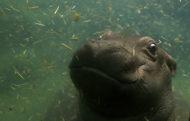 A baby hippo swims under the water in its enclosure at Prague Zoo, Czech Republic, February 24, 2016