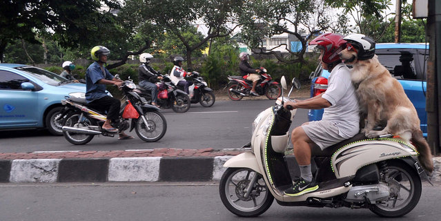 Indonesian dog lover Handoko Njotokusumo gets a lot of attention as he rides around the town, on Jan