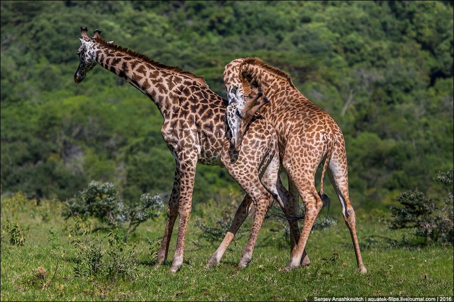 Как вы думаете, что делают эти жирафы?