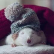 Крыса в шапке