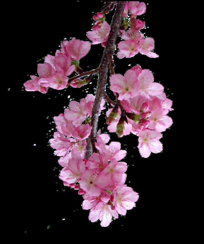 "Клипарт ""Цветущая сакура и вишня.. Обсуждение на ...  Цветущая Сакура Png"
