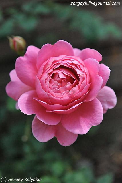 Rosa Princess Alexandra of Kent (8).JPG