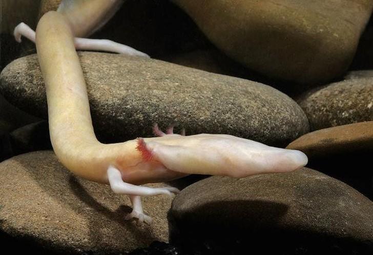 Протей живет в пещерах Центральной и Юго-Восточной Европы и является одной из немногих амфибий,