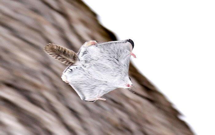 Сибирская белка-летяга