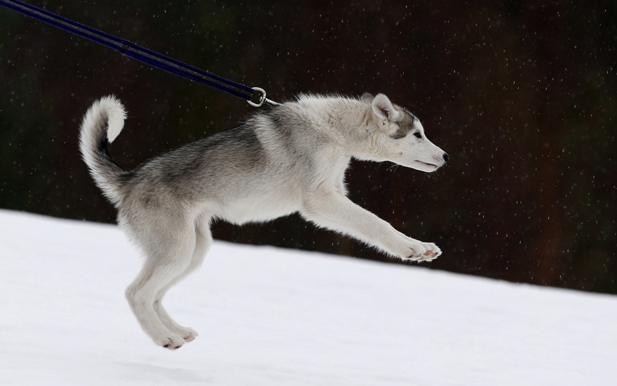 A husky puppy pulls on its leash during a training session at Feshiebridge, in Aviemore, Scotland, o