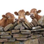 Коровы у забора