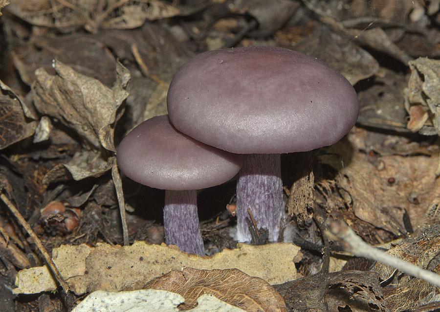 Рядовка фиолетовая все картинки