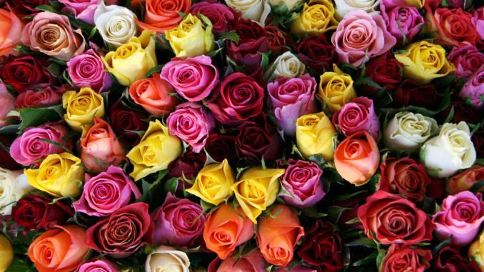 шпалери з різнокольоровими трояндами