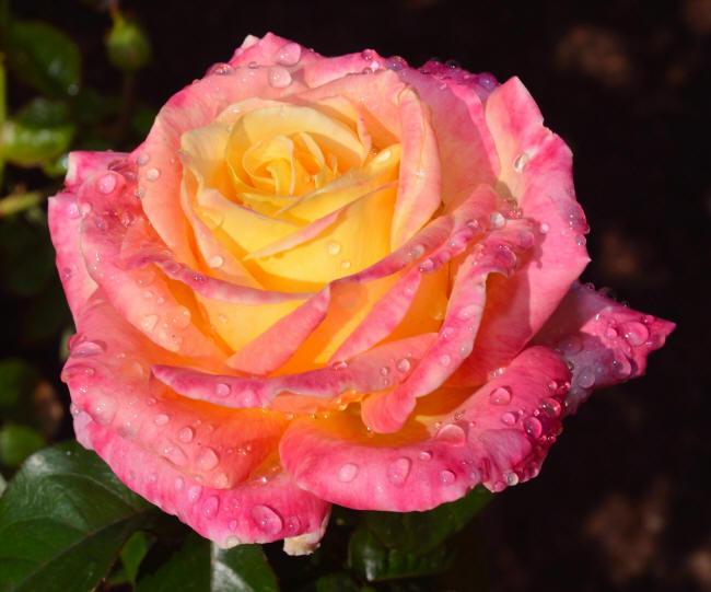 фото-троянди