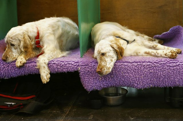 English Setters rest during the second day of the Crufts Dog Show in Birmingham, Britain March 11, 2