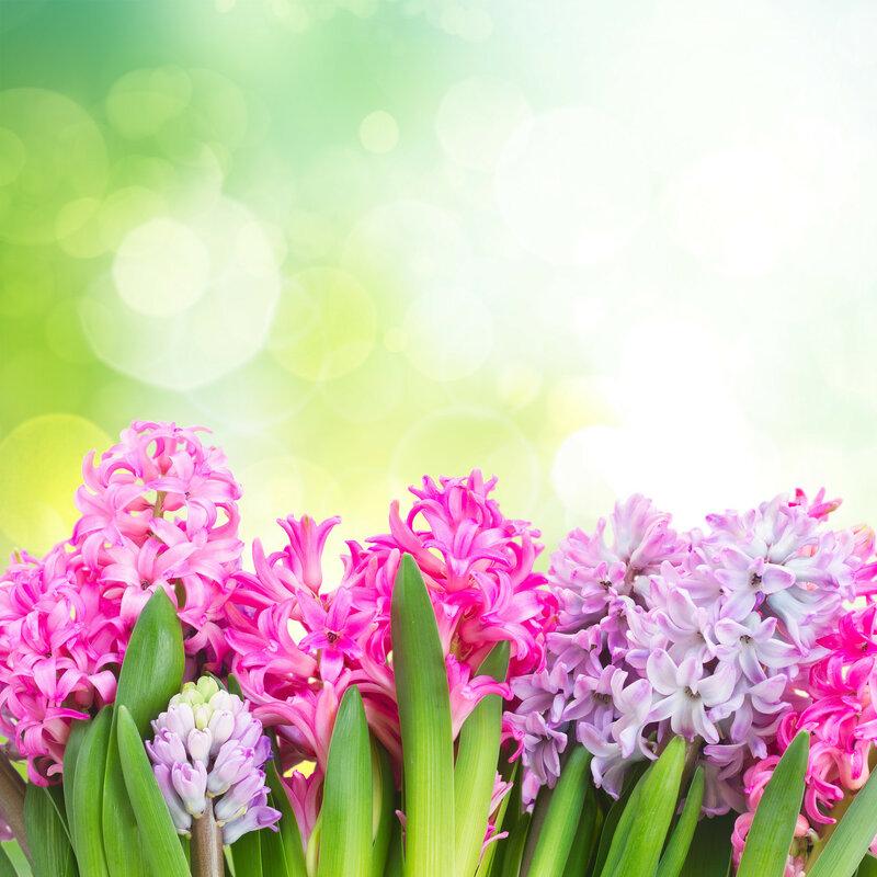 Pink and violet hyacinths