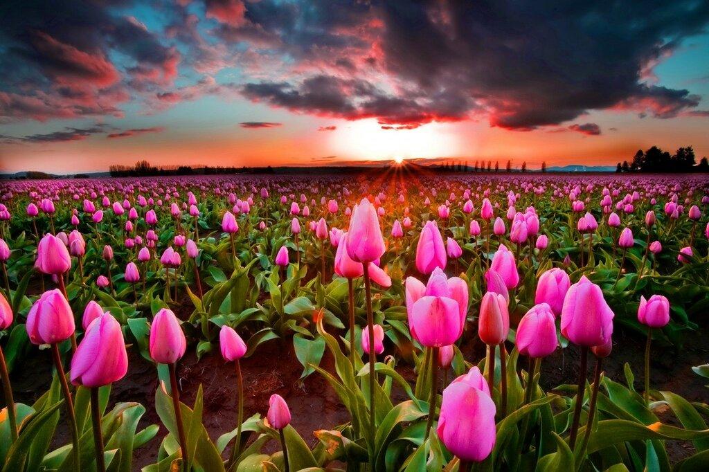 Tulips_Fields_Sunrises_443158.jpg