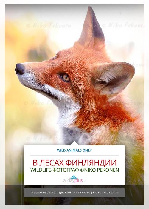 Niko Pekonen - Wildlife-фотограф. Животный мир финских лесов