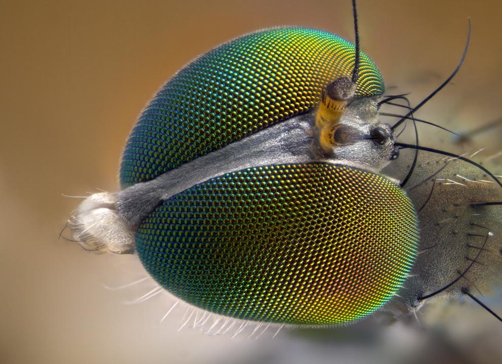 12. Увеличенное в 10 раз фото мухи, сделанное Лори Найт из Тонбриджа, Кент, Англия. (Courtesy of Nik