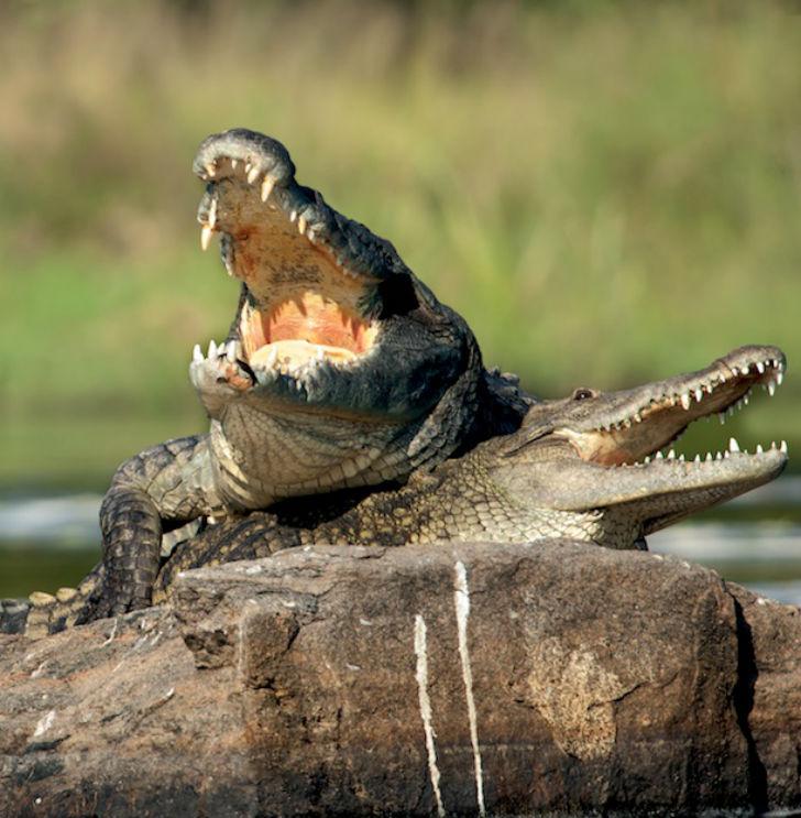 Крокодил является самой крупной рептилией в мире и, надо признать, одной из самых устрашающих на вид