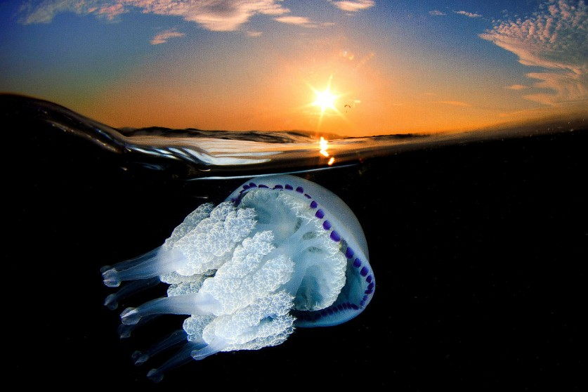 Обитают медузы на разных глубинах. некоторые плавают у поверхности, другие погружаются на глубину до