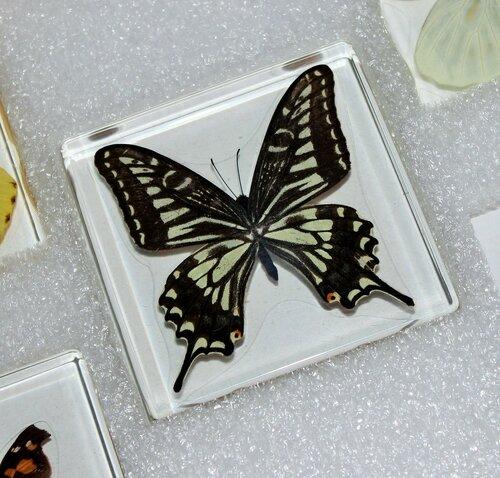 Бабочки №99 - Парусник Ксут (Papilio xuthus)