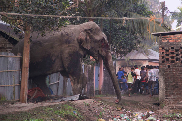 People run as they follow a wild elephant that strayed into the town of Siliguri in West Bengal stat