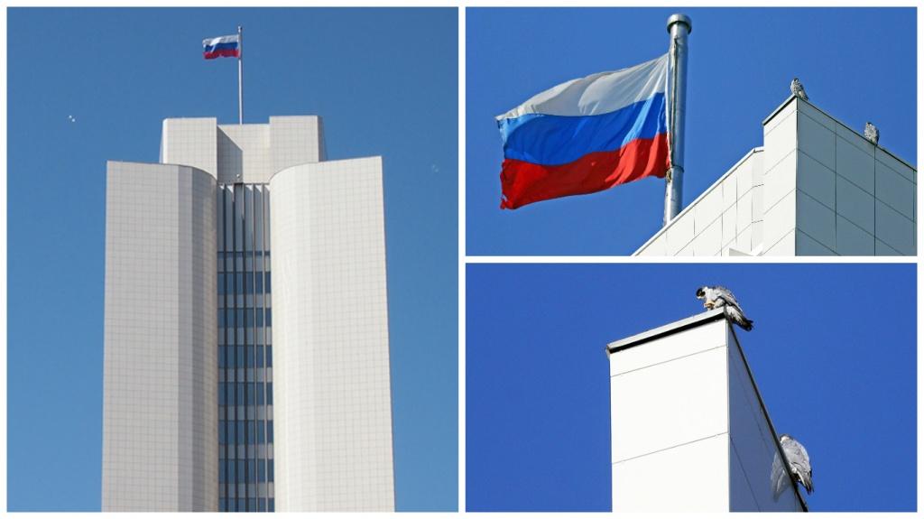 Во Владивостоке пара сапсанов облюбовала здание краевой администрации