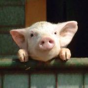 Свинка на заборе