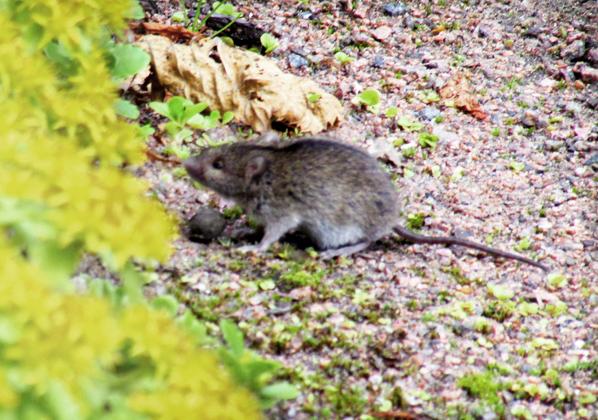 мышка ботаническая