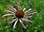 Эхинацея бледная / Echinacea pallida