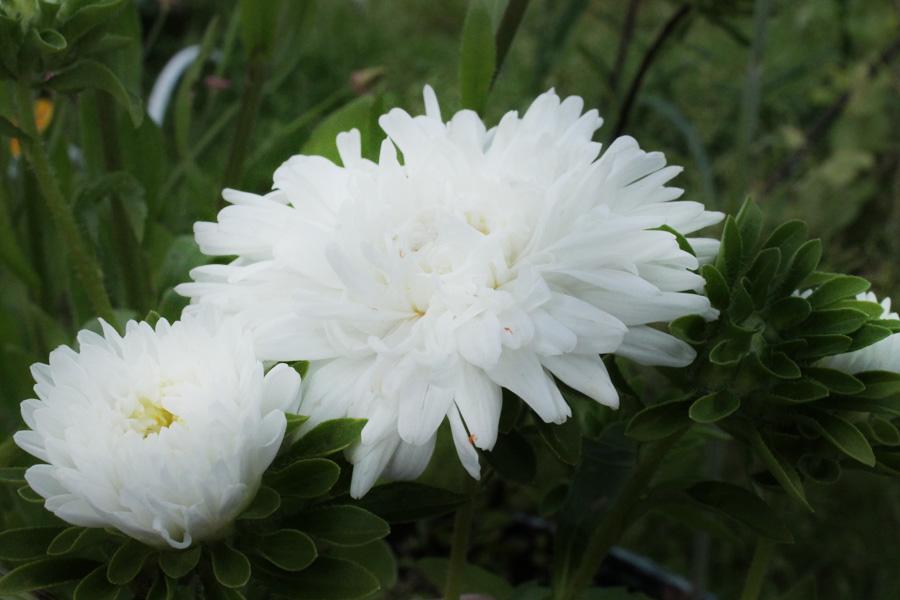 Какие цветы можно посадить под зиму - 20 однолетников-Астры