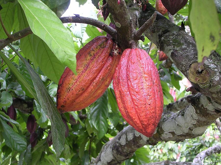 1. Деревья какао могут жить до 200 лет, но плодоносят они лишь 25 лет.