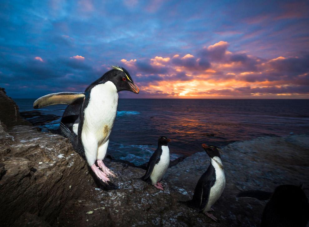 6. Сегодня благодаря многолетним мерам охраны численность королевских пингвинов на всех островах пол