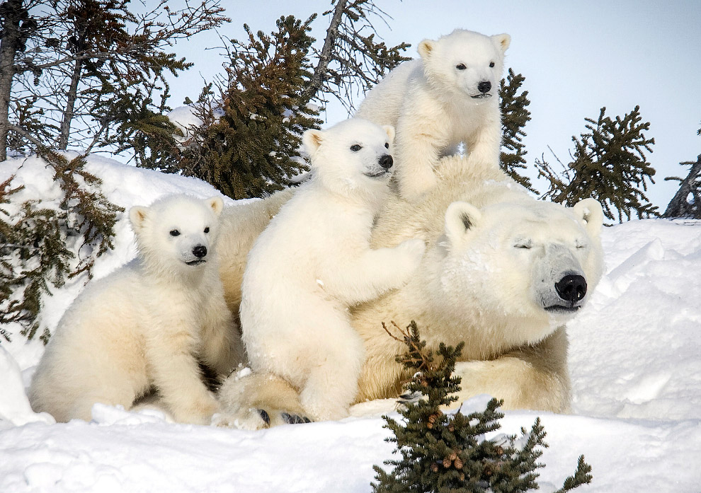 3. Обитают белые медведи в приполярных областях в северном полушарии Земли.
