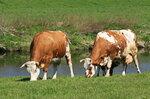 Едят травку у реки...2H1A8298OB.JPG