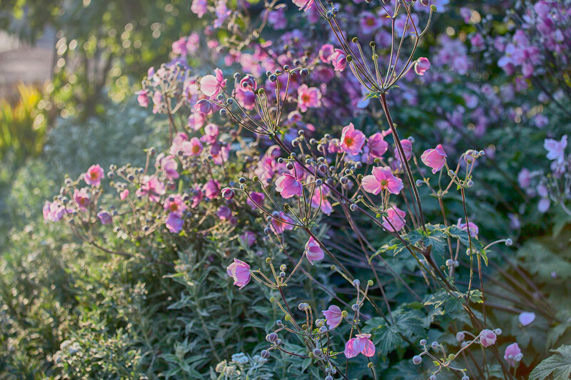 the Pink cosmos flowers in London in sunset